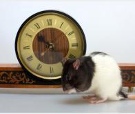 Les rats ont déjà la notion du temps !