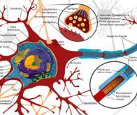 Les secrets des neurones révélés par les molécules d'eau