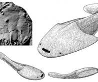 L'étude de fossiles de poissons explique l'apparition des mâchoires chez les vertébrés