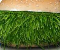 L'herbe comme source de protéines pour nourrir la planète !