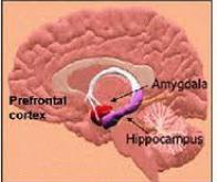L'hippocampe et le cortex communiquent !