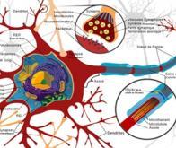 Lithium : un nouvel espoir pour remyéliniser les nerfs lésés