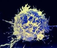 Maladies chroniques du foie : découverte du rôle des lymphocytes T invariants