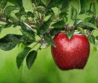 Manger des pommes pour garder un cerveau en pleine forme…