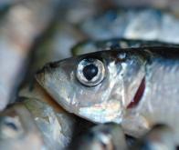 Manger du poisson réduirait le risque de dépression