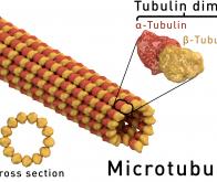 Microtubules : ce qui ne les tue pas les rend plus forts !