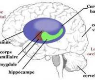 Perte de volume de l'hippocampe, un trait phénotypique de la schizophrénie