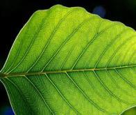 Photosynthèse : une feuille bionique dix fois plus efficace que la nature