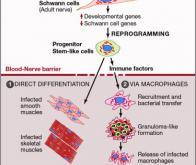 Quand le bacille de la lèpre transforme les cellules nerveuses en muscles !