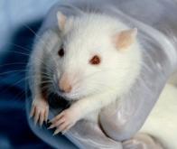 Quand les rats développent un sixième sens !