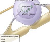 Sclérose en plaques : des cellules de myéline obtenues directement à partir de cellules de la peau