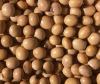 Syndrome de l'intestin irritable : efficacité thérapeutique des germes de soja