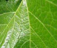 Un gène de satiété en azote chez les plantes