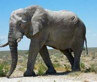 Un gène des éléphants leur permet d'être immunisés contre le cancer