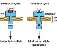 Un gène protecteur des cancers colorectaux