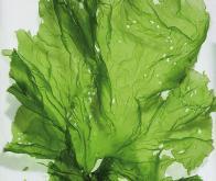 Un plastique performant à base d'algues