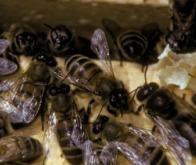 Un virus transmis par un acarien décimerait les abeilles