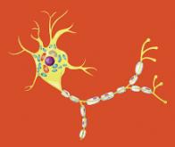 Une protéine anti-inflammatoire et pro-cicatrisante, produite par des neurones !