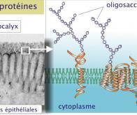 Une protéine antigel de synthèse et biodégradable