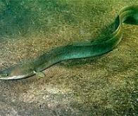 Une source d'électricité inspirée de l'anguille