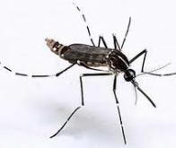 Vaccins : bientôt un traitement français contre le Chikungunya