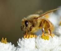 Vers la vaccination des insectes ?