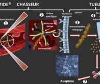 Vers un poropeptide chasseur-tueur de cancer