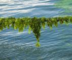 Algues et hydrates de méthane : un potentiel fabuleux venu de la mer
