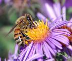 Antibiotiques et pesticides : un mélange nocif pour les abeilles ?