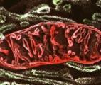 Cancer et mitochondries : le lien se confirme