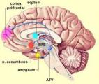 Contrôler la douleur grâce aux neurones de l'amygdale