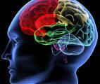 Découverte de gènes responsables de la taille des structures cérébrales