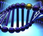 Découverte d'un nouveau gène lié au processus de vieillissement du cœur