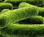 Des bactéries modifiées pour détecter les maladies !