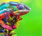 Des chercheurs créent un matériau mimant la peau des caméléons