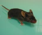 Des chercheurs parviennent à inverser l'horloge biologique d'une souris !