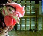 Des chercheurs toulousains de l'INRA découvrent le gène responsable de l'épilepsie du poulet
