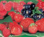 Des fraises et des myrtilles pour réduire le risque de crise cardiaque chez les femmes