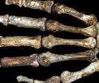 Descendons-nous de l'Australopithecus sediba ?
