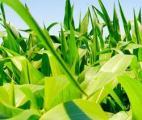Hybridation : voie prometteuse pour la production de biocarburants ?