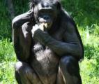 Kanzi, le singe bonobo qui sait faire du feu et se cuire un steak