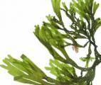 La dépollution des eaux radioactives par les algues