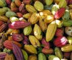 Le cacao améliore l'autonomie pour les patients atteints de certaines maladies artérielles