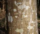 L'écorce, clé de la verticalité des arbres