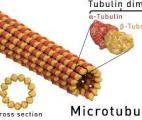 Les microtubules, à la fois squelettes de nos cellules et autoroutes pour molécules