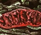 Mieux comprendre l'implication des mitochondries dans le vieillissement…