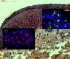Nouvelle stratégie vaccinale : optimiser la réponse immunitaire grâce aux cellules dendritiques