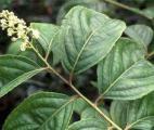 Une  plante issue de la médecine chinoise efficace contre le cancer du pancréas