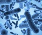 Une bactérie intestinale antidouleur