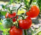 Une nouvelle classe d'antibiotiques issus de la tomate…